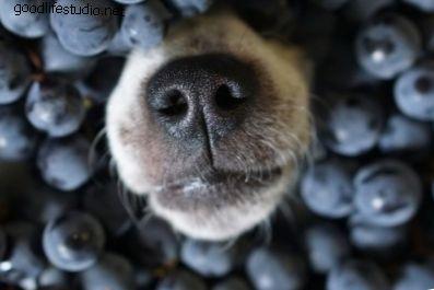 Jesu li borovnice sigurne za pse?