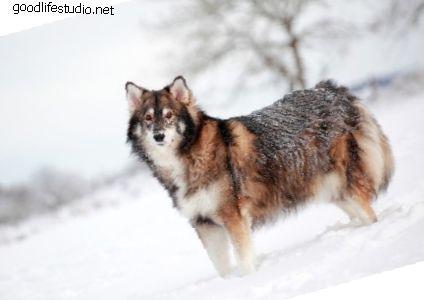 12 собак, которые похожи на волков