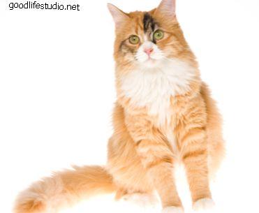 Warum sind Kaliko-Katzen immer weiblich?
