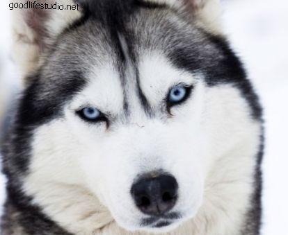 100 vīriešu haskiju suņu vārdi
