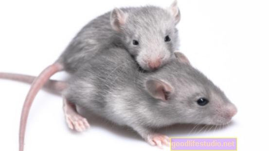 Un estudio sobre ratones encuentra que el autismo puede ser más que un trastorno cerebral