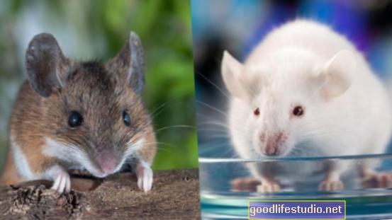 Kajian Tikus Mencadangkan Faktor Persekitaran yang Betul Boleh Menghidap Skizofrenia