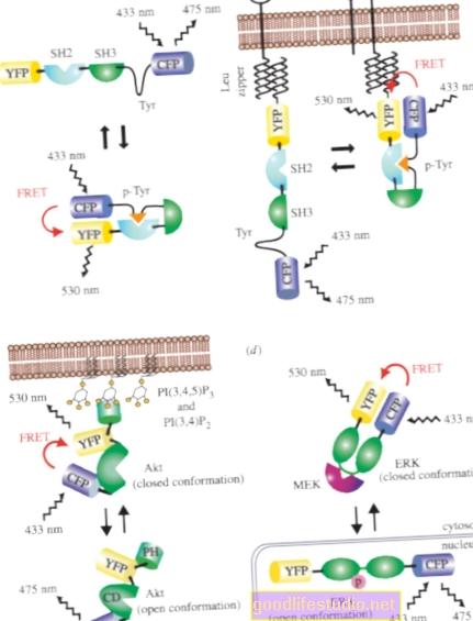 Investigando cómo las proteínas obstruyen los motores celulares en el Alzheimer