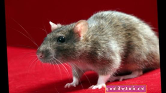 Studie na potkanech přidává antidepresiva ke stresu, stravě v rovnici přírůstku hmotnosti