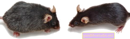 Uno studio sui ratti mostra che l'allenamento mentale precoce può aiutare le funzioni cerebrali successive