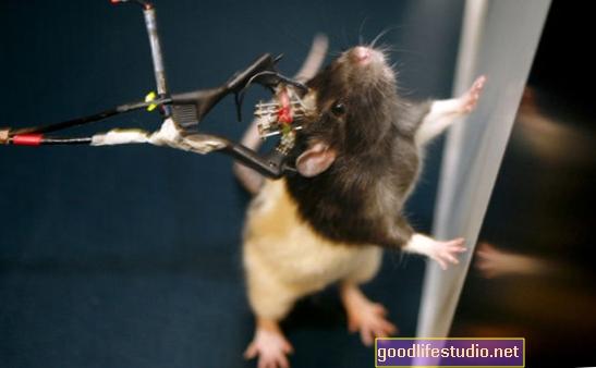 Studie na potkanech navrhuje, aby změny mozku ovlivňovaly závislost na alkoholu