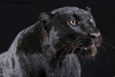 Pantera Negra: espíritu animal, simbolismo y significado