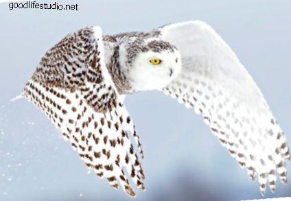 Significado del búho blanco